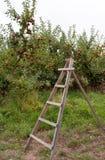 Σκάλα στον οπωρώνα μήλων Στοκ Φωτογραφία