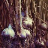 Σκέλη των πρόσφατα ξηρών βολβών σκόρδου Στοκ εικόνες με δικαίωμα ελεύθερης χρήσης