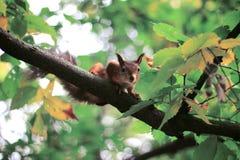Σκίουροι με το καρύδι στοκ εικόνες