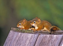 Σκίουροι μωρών Στοκ Εικόνα