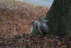σκίουροι Στοκ Εικόνα
