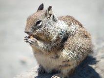 Σκίουρος, ακτή Καλιφόρνιας στοκ φωτογραφία με δικαίωμα ελεύθερης χρήσης