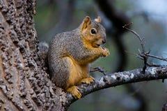 σκίουρος αλεπούδων στοκ εικόνα