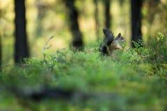 Σκίουρος από τη Φινλανδία Φινλανδική φύση όμορφη Σκανδιναβική φύση Στοκ Φωτογραφία