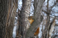 Σκίουρος 1 αλεπούδων Στοκ φωτογραφία με δικαίωμα ελεύθερης χρήσης