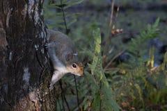 Σκίουρος αλεπούδων Στοκ εικόνα με δικαίωμα ελεύθερης χρήσης