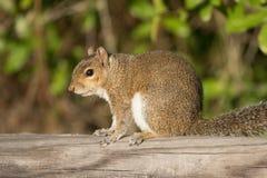 Σκίουρος αλεπούδων Στοκ εικόνες με δικαίωμα ελεύθερης χρήσης