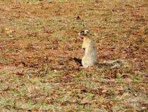 Σκίουρος αλεπούδων Sherman Στοκ εικόνα με δικαίωμα ελεύθερης χρήσης
