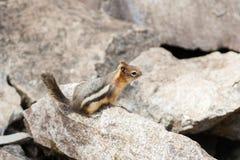 Σκίουρος, Αλμπέρτα, Καναδάς στοκ φωτογραφία
