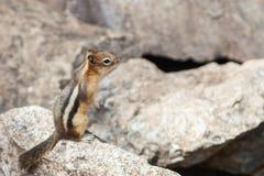 Σκίουρος, Αλμπέρτα, Καναδάς στοκ φωτογραφία με δικαίωμα ελεύθερης χρήσης