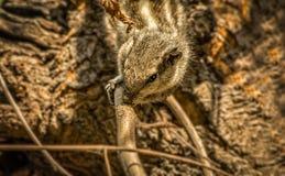 Σκίουρος γεγονότων τρωκτικών που γλείφει το σφρίγος από έναν θάμνο δέντρων Στοκ εικόνα με δικαίωμα ελεύθερης χρήσης