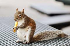 σκίουρος γρήγορου φαγητού Στοκ εικόνες με δικαίωμα ελεύθερης χρήσης