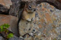 Σκίουρος, εθνικό πάρκο Banff, δύσκολα βουνά, Καναδάς στοκ φωτογραφία με δικαίωμα ελεύθερης χρήσης