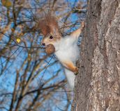 Σκίουρος επάνω ένα δέντρο Στοκ εικόνα με δικαίωμα ελεύθερης χρήσης