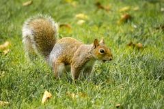 Σκίουρος και σε στα τέσσερα πόδια Στοκ Φωτογραφία