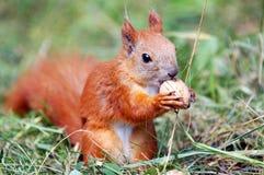 σκίουρος καρυδιών στοκ φωτογραφίες