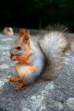 σκίουρος καρυοθραύστης στοκ εικόνες