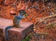 Σκίουρος & καρύδι Στοκ Εικόνες