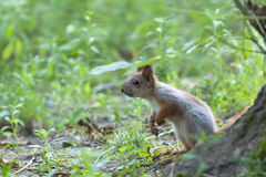 Μικρός κόκκινος σκίουρος Στοκ φωτογραφία με δικαίωμα ελεύθερης χρήσης