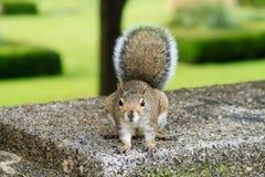 Σκίουρος μετά από τους τουρίστες γύρω από τα πάρκα του Σικάγου Στοκ φωτογραφίες με δικαίωμα ελεύθερης χρήσης