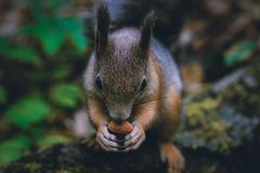 Σκίουρος με ένα καρύδι σε ένα δέντρο στοκ φωτογραφία με δικαίωμα ελεύθερης χρήσης