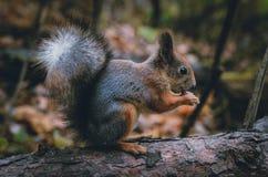 Σκίουρος με ένα καρύδι σε ένα δέντρο στοκ εικόνες με δικαίωμα ελεύθερης χρήσης