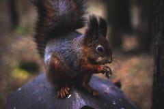 Σκίουρος με ένα καρύδι σε ένα δέντρο στοκ εικόνες