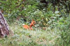 Σκίουρος με ένα καρύδι στο στόμα Στοκ φωτογραφίες με δικαίωμα ελεύθερης χρήσης