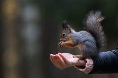 Σκίουρος με ένα καρύδι Στοκ φωτογραφίες με δικαίωμα ελεύθερης χρήσης