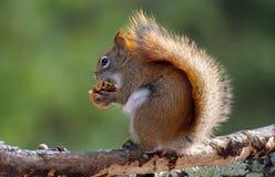 Σκίουρος με ένα καρύδι Στοκ Φωτογραφία