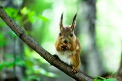 Σκίουρος με ένα καρύδι Στοκ φωτογραφία με δικαίωμα ελεύθερης χρήσης