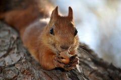 Σκίουρος με ένα καρύδι Στοκ Εικόνες