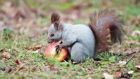 Σκίουρος με ένα μήλο απόθεμα βίντεο