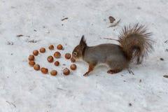 Σκίουρος με μια εικόνα δίπλα σε μια σπείρα του φουντουκιού Στοκ Εικόνα