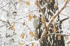 Σκίουρος με την γκρίζα γούνα και πορτοκαλιά αυτιά στο δέντρο σημύδων που καλύπτεται στοκ εικόνες