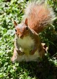 Σκίουρος με την τοποθέτηση που εξετάζει τη κάμερα Στοκ εικόνες με δικαίωμα ελεύθερης χρήσης