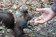 Σκίουρος με τη σκοτεινή γούνα και μια θαμνώδης ουρά που τρώει τα καρύδια στοκ φωτογραφία με δικαίωμα ελεύθερης χρήσης