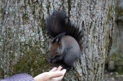 Σκίουρος με τη σκοτεινή τρίχα και μια χνουδωτή ουρά στοκ φωτογραφία