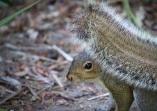 Σκίουρος με τη χνουδωτή ουρά στοκ φωτογραφία