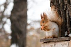 Σκίουρος με το καρότο Στοκ εικόνα με δικαίωμα ελεύθερης χρήσης