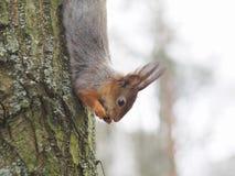 Σκίουρος με το καρύδι Στοκ Εικόνες