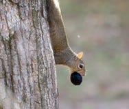 Σκίουρος με το ξύλο καρυδιάς Στοκ φωτογραφία με δικαίωμα ελεύθερης χρήσης