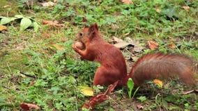 Σκίουρος με το ξύλο καρυδιάς