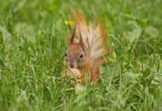Σκίουρος με το ξύλο καρυδιάς Στοκ Εικόνες