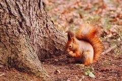 Σκίουρος με το ξύλο καρυδιάς Στοκ εικόνα με δικαίωμα ελεύθερης χρήσης