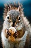 Σκίουρος με το φυστίκι Στοκ φωτογραφίες με δικαίωμα ελεύθερης χρήσης