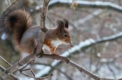 Σκίουρος μωρών Στοκ Εικόνα