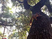 Σκίουρος πάνω από το δέντρο έτοιμο να πηδήσει Στοκ Εικόνες