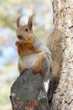 σκίουρος πάρκων Στοκ Φωτογραφίες
