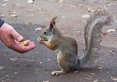 σκίουρος πάρκων Στοκ φωτογραφία με δικαίωμα ελεύθερης χρήσης